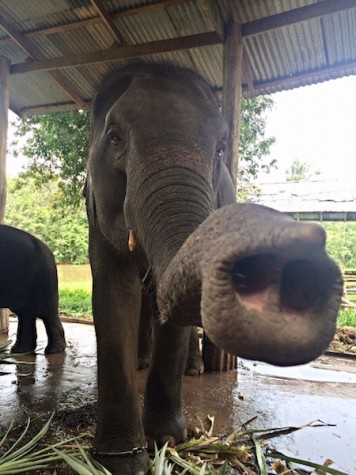 Photo Credits: Julia DiFabrizio Jew was the main elephant DiFabrizio worked with while at the Sappraiwan Elephant Sanctuary.