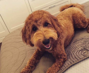 """I'm a labradoodle because I love water, I'm hyper, and easily distracted."" says Rodriguez. Credit: Bella Kirkpatrick"