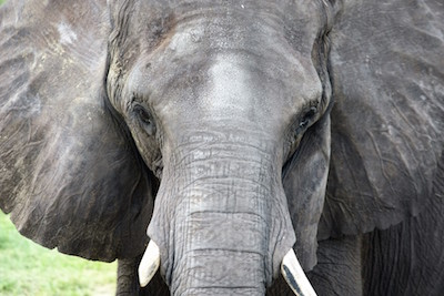 Sophomore and avid animal lover Danielle Brennan has a passion for photography. Her picture of Ellie, the African elephant featured in the picture above, was taken at Lowry Park Zoo.