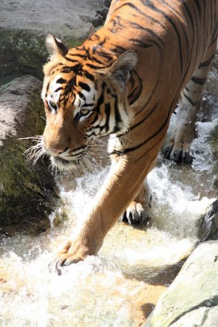 Malayan tigers, like Mata from Lowry Park Zoo (as pictured above), stalk their prey until the tiger can catch its prey in a vulnerable moment.