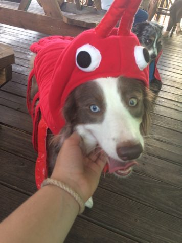"Tica won ""Best Costume"" at the Davis Island Village pet costume contest. Credit: Rachel Mckenna/Achona Online"
